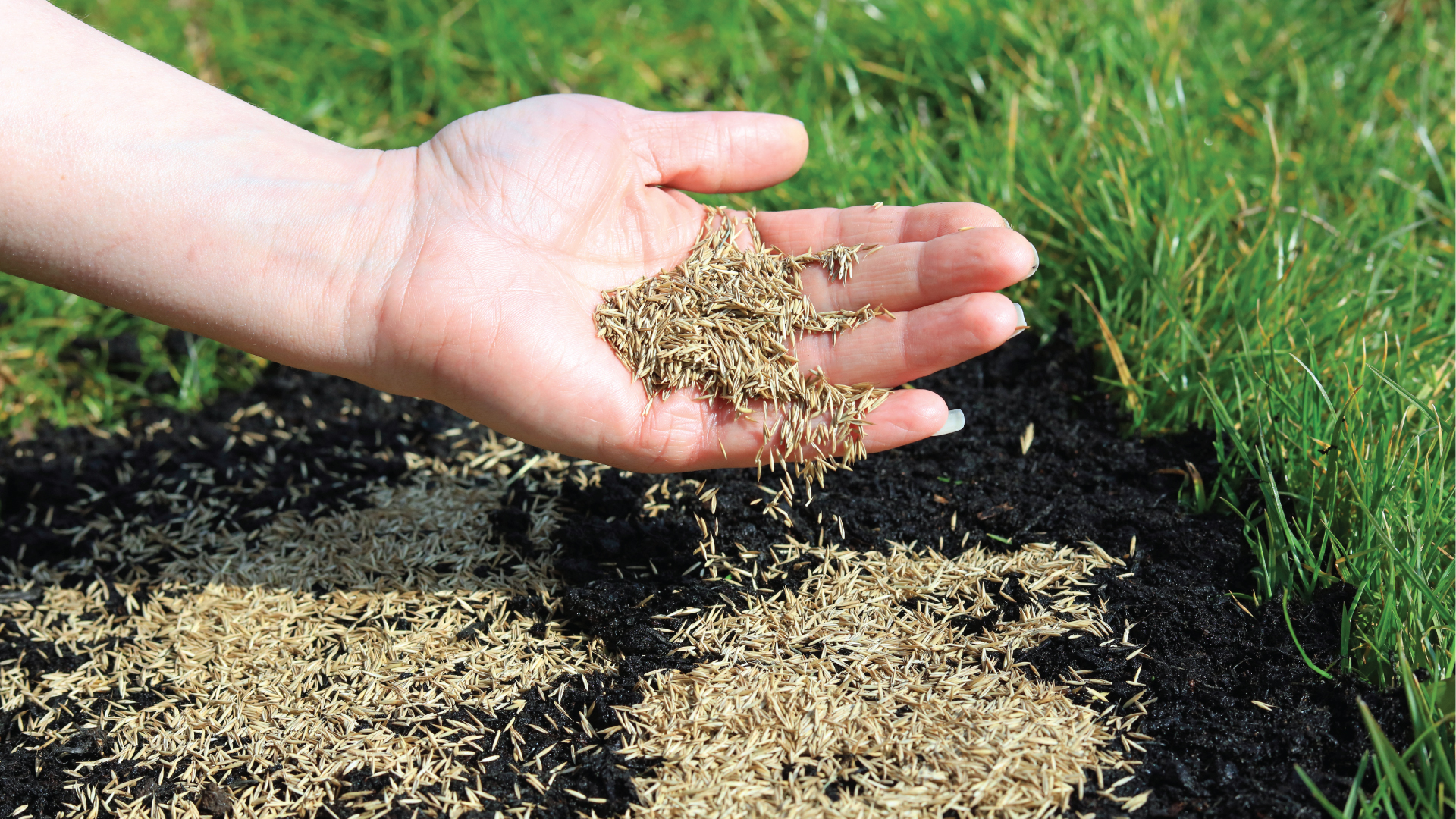 Overseeding Lawns Everything You Need To Know About Overseeding Tee Time Lawn Care Featured
